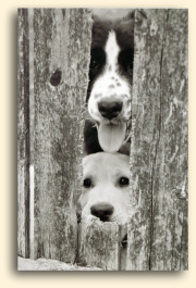 Two dogs peeking