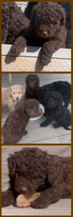 Chocolate miniature goldendoodle puppy