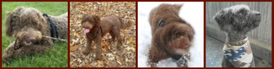 Chocolate miniature goldendoodle