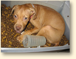 Pit bull puppy in pet food storage bin