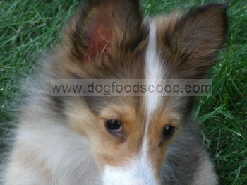 Lilly Shetland Sheepdog