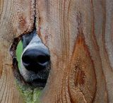 Dog Peeking