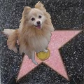 Pomeranian Dog Star