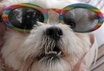 Shih Tzu wearing Sunglasses