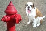 St. Bernard Dog at Fire Hydrant