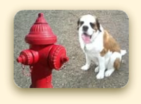 St. Bernard Dog at Fire Hydrant