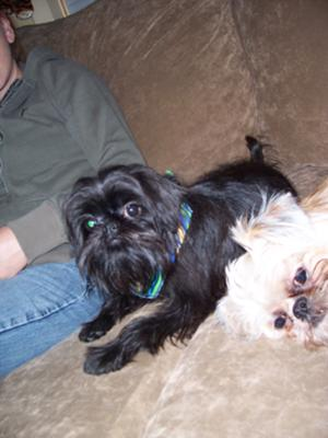 Teakie and Chewbacca - Brussels Griffons