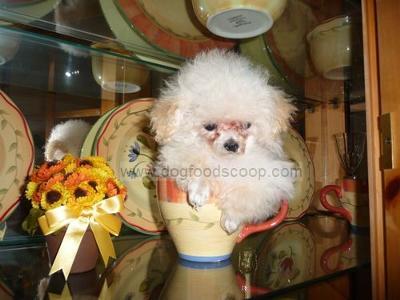 Tiny Yogi Bear - Teacup Poodle
