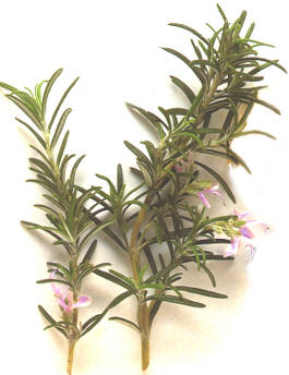 Rosemary herb - Pet food neurotoxin