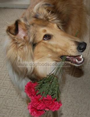 Baby - Rough Collie