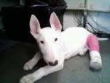 Saved by Bull Terrier Rescue!  This was Woody then!