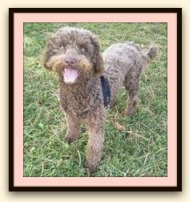 chocolate miniature golden doodle