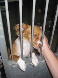 Papillon in Dog Pound